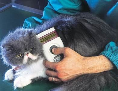 Vet reading a microchip on a cat's neck