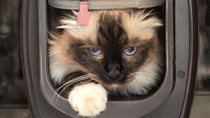 Burmese cat entering a house through a mini cat door