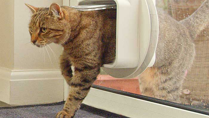 microchipped cat passing through an electronic flap